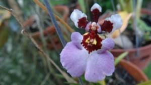 orchidee4-300x168